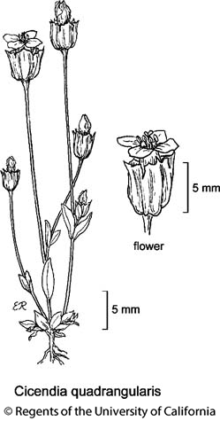 botanical illustration including Cicendia quadrangularis