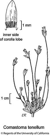 botanical illustration including Comastoma tenellum