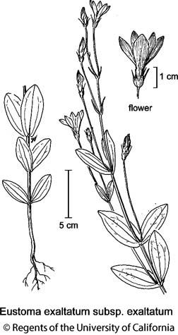 botanical illustration including Eustoma exaltatum subsp. exaltatum