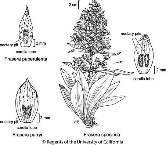 botanical illustration including Frasera parryi