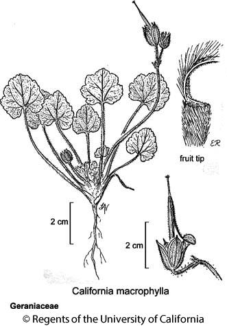 botanical illustration including California macrophylla