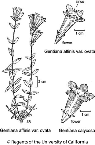 botanical illustration including Gentiana calycosa