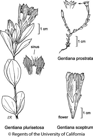 botanical illustration including Gentiana plurisetosa