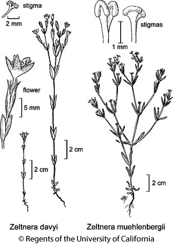 botanical illustration including Zeltnera muehlenbergii