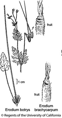 botanical illustration including Erodium brachycarpum