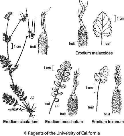 botanical illustration including Erodium cicutarium