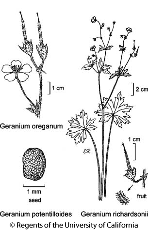 botanical illustration including Geranium oreganum