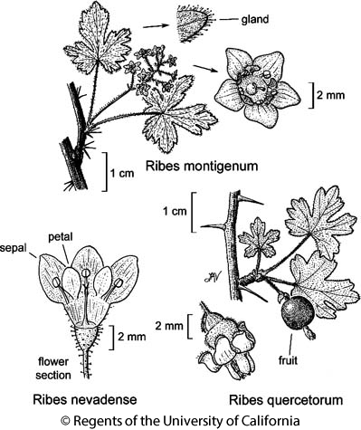 botanical illustration including Ribes quercetorum