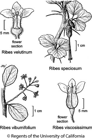 botanical illustration including Ribes viscosissimum