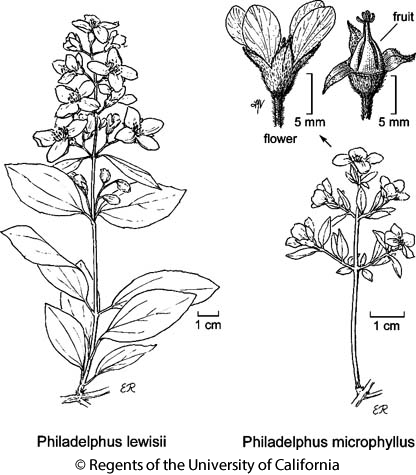 botanical illustration including Philadelphus microphyllus