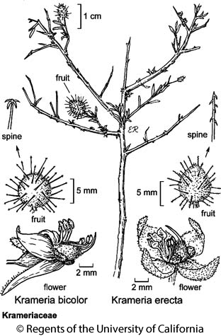 botanical illustration including Krameria bicolor