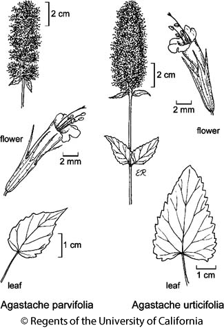 botanical illustration including Agastache urticifolia