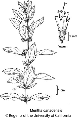 botanical illustration including Mentha canadensis