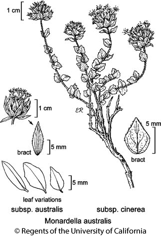 botanical illustration including Monardella australis subsp. cinerea