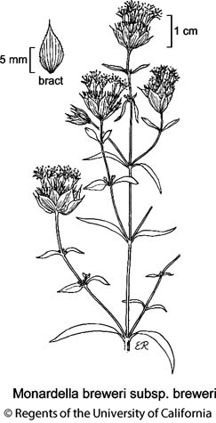 botanical illustration including Monardella breweri subsp. breweri