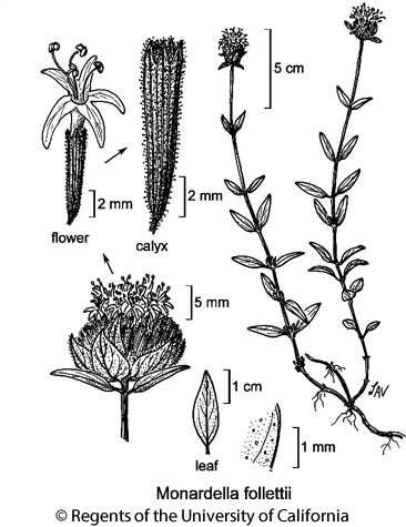 botanical illustration including Monardella follettii
