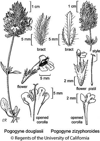 botanical illustration including Pogogyne douglasii