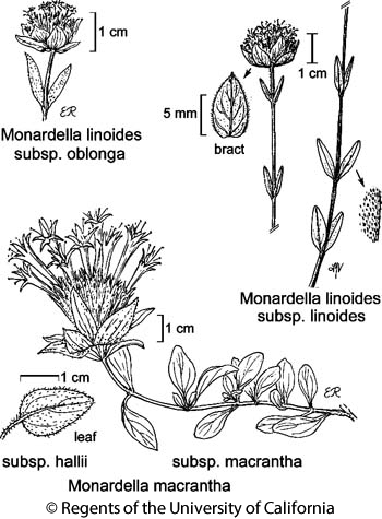 botanical illustration including Monardella linoides subsp. linoides