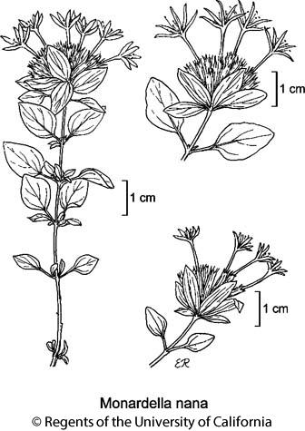 botanical illustration including Monardella nana