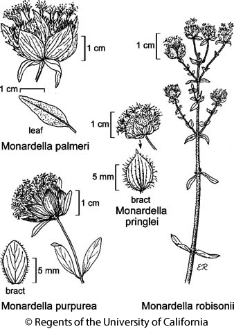 botanical illustration including Monardella robisonii