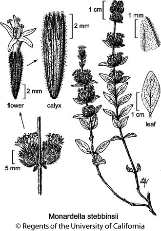 botanical illustration including Monardella stebbinsii