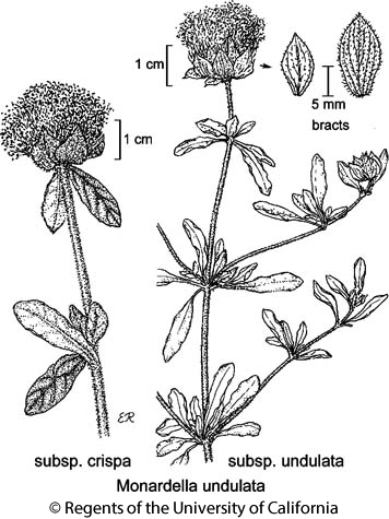 botanical illustration including Monardella undulata subsp. crispa