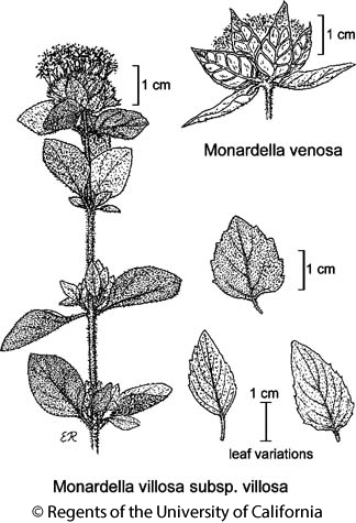 botanical illustration including Monardella venosa
