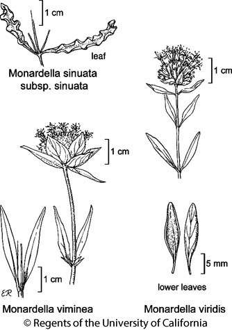 botanical illustration including Monardella viminea