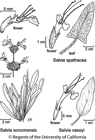 botanical illustration including Salvia spathacea