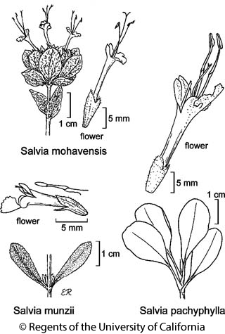 botanical illustration including Salvia munzii