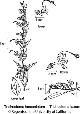 botanical illustration including Trichostema laxum