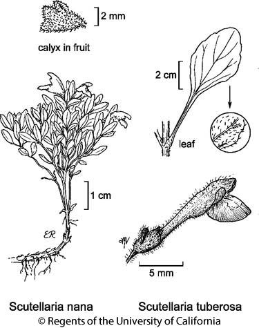 botanical illustration including Scutellaria tuberosa