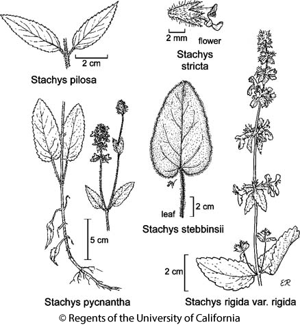 botanical illustration including Stachys pilosa