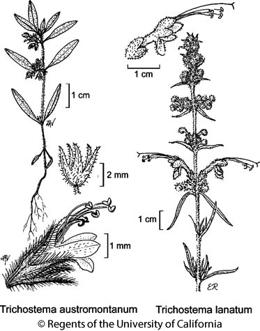 botanical illustration including Trichostema austromontanum