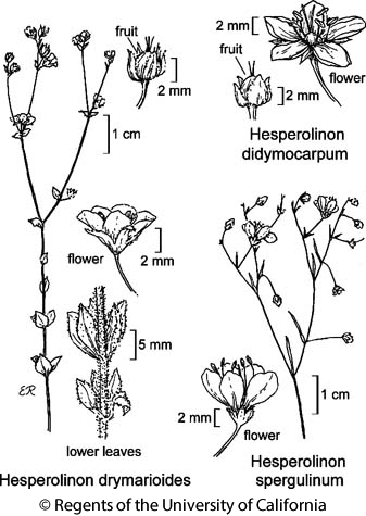 botanical illustration including Hesperolinon didymocarpum