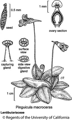botanical illustration including Pinguicula macroceras
