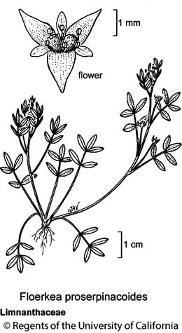 botanical illustration including Floerkea proserpinacoides