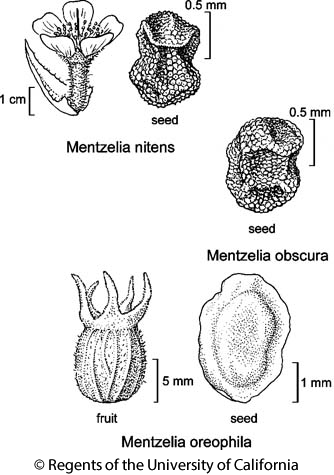 botanical illustration including Mentzelia obscura