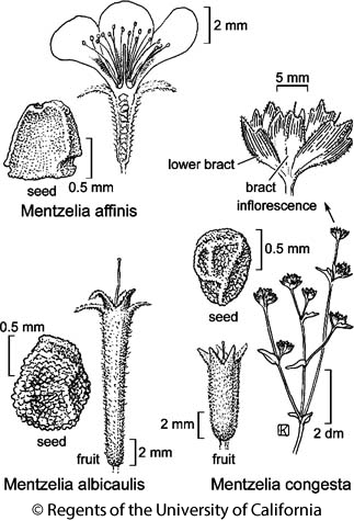 botanical illustration including Mentzelia albicaulis
