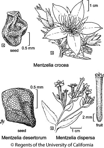 botanical illustration including Mentzelia crocea
