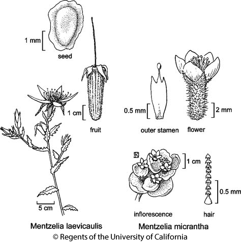 botanical illustration including Mentzelia laevicaulis