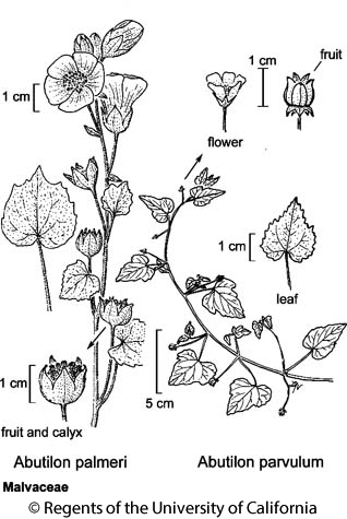 botanical illustration including Abutilon palmeri