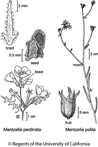 botanical illustration including Mentzelia pectinata