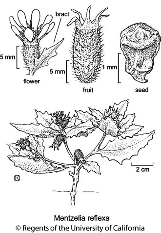 botanical illustration including Mentzelia reflexa
