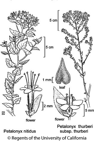 botanical illustration including Petalonyx thurberi subsp. thurberi