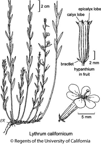 botanical illustration including Lythrum californicum