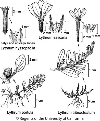 botanical illustration including Lythrum hyssopifolia