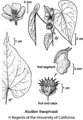 botanical illustration including Abutilon theophrasti