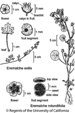botanical illustration including Eremalche exilis