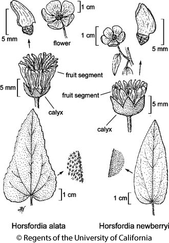 botanical illustration including Horsfordia alata